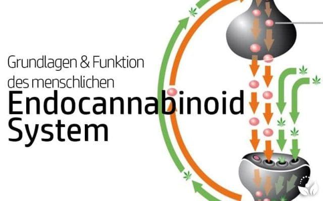 Das Endocnnabinoid-System des Menschen