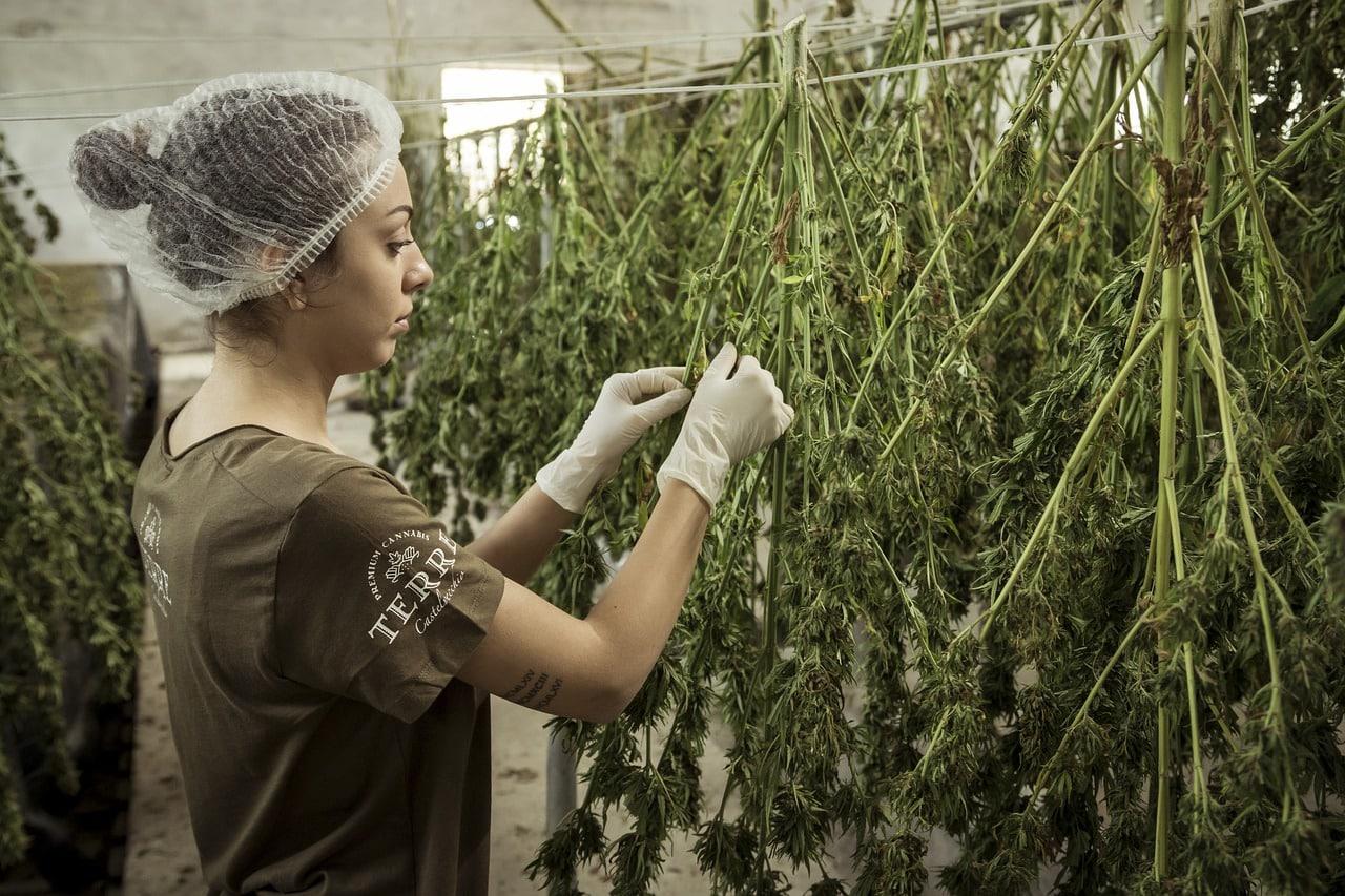 hochpotente Marihuana-Konzentrate